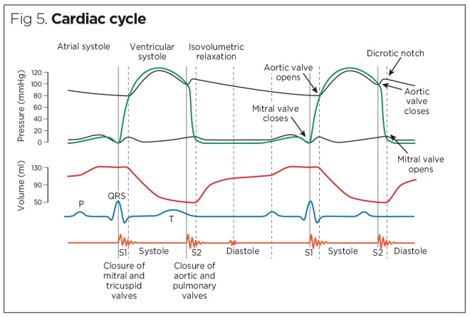 Cardiac system 1: anatomy and physiology