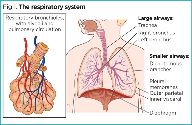 Respiratory Rate 2 Anatomy And Physiology Of Breathing