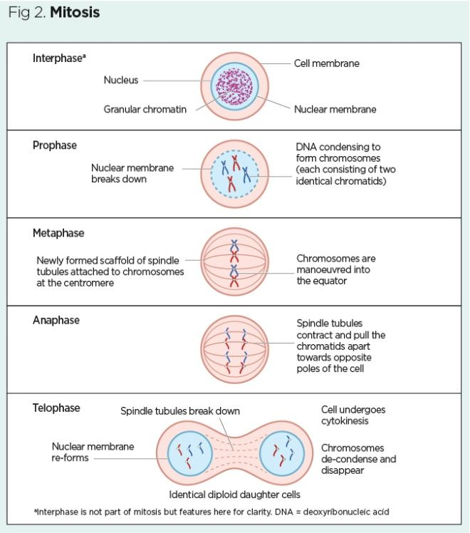 Genes And Chromosomes 2 Cell Division And Genetic Diversity Nursing Times