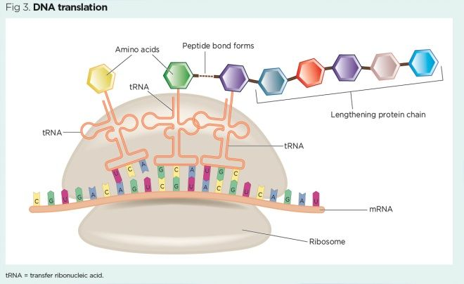 Genes and chromosomes 3: genes, proteins and mutations