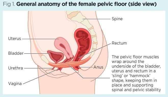 Female pelvic floor 1: anatomy and