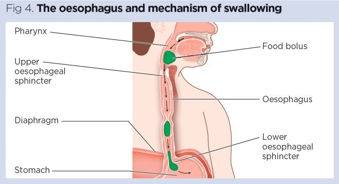 Gastrointestinal tract 1: the mouth and oesophagus   Nursing TimesNursing Times