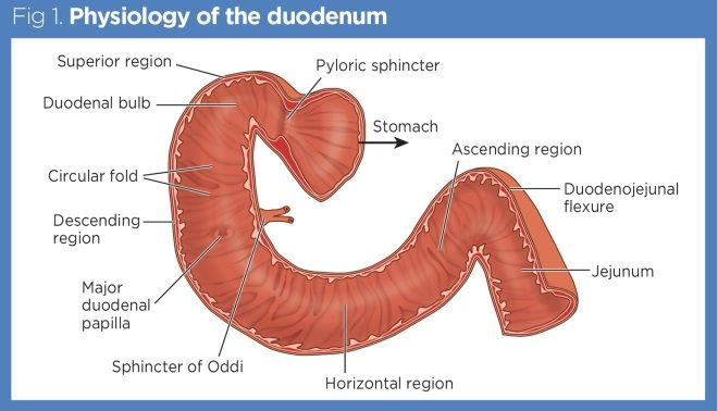 where is the human duodenum - 660×378