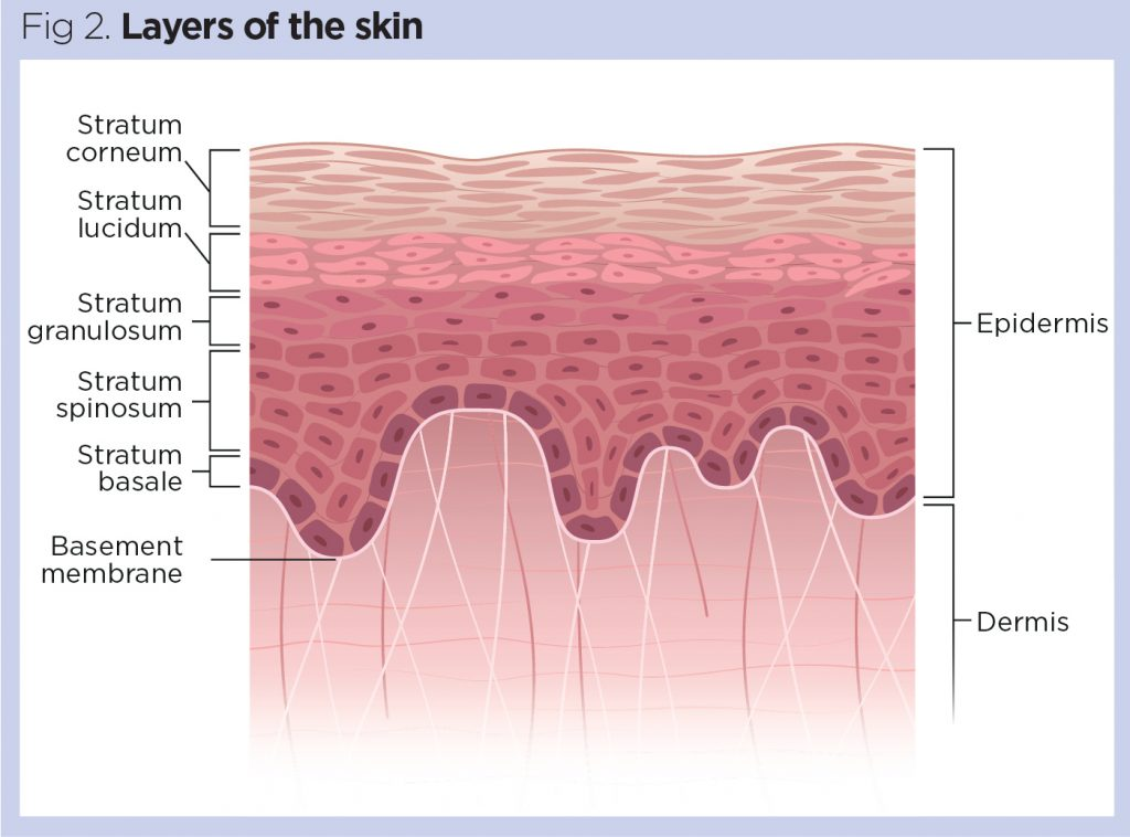 Skin 1  The Structure And Functions Of The Skin