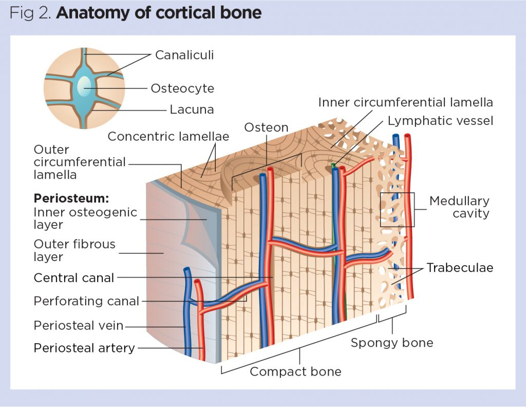 Skeletal System 1 The Anatomy And Physiology Of Bones Nursing Times